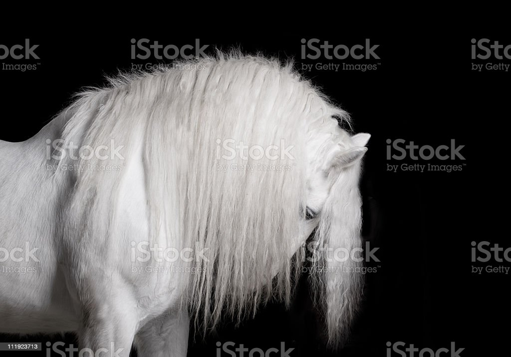 white horse studio shot stock photo