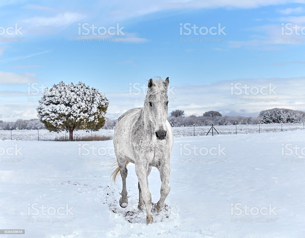 White Horse trotting in Snow stock photo