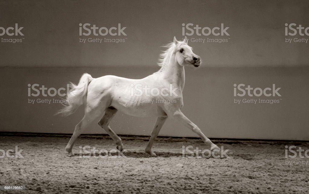 white horse trotting proud in light stock photo