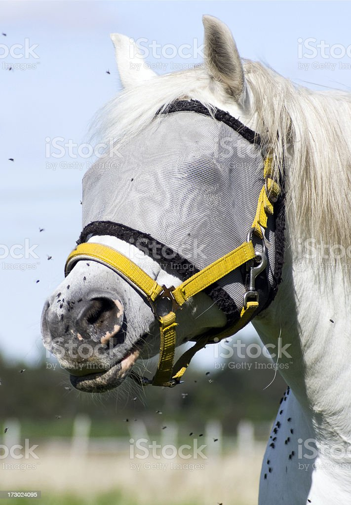 white horse with a fly cover stock photo