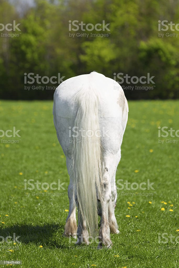 White horse with a long tail from behind stock photo