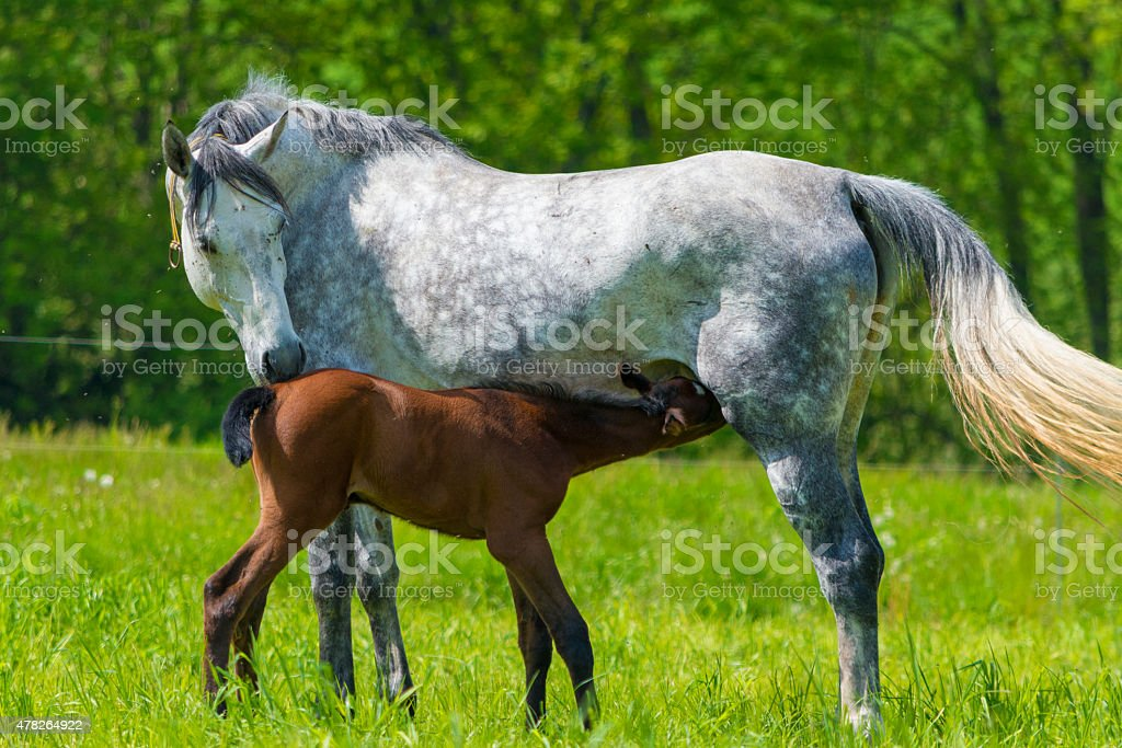 white horse with suckling foal stock photo