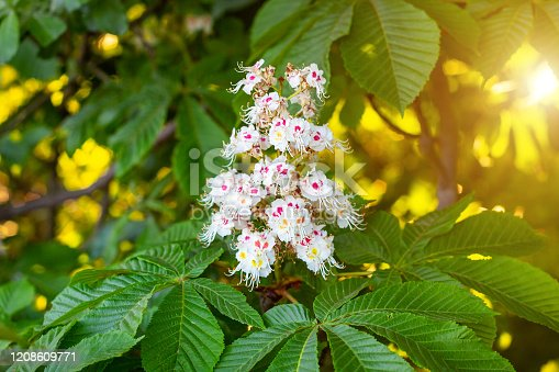 White horse-chestnut (Conker tree, Aesculus hippocastanum) blossoming flowers on branch with green leaves background.