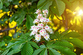 istock White horse-chestnut (Conker tree, Aesculus hippocastanum) blossoming flowers on branch with green leaves background 1208609771