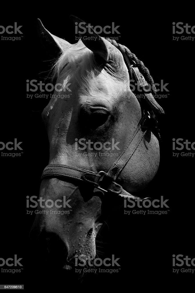 White Horses Black And Art Portrait Royalty Free Stock Photo