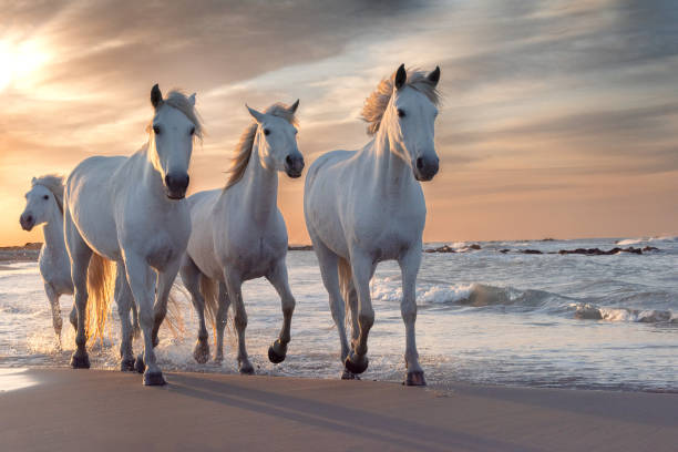 White horses in camargue france picture id1168799146?b=1&k=6&m=1168799146&s=612x612&w=0&h=ymsj1iqqq ycrr f6pb yo8rqkx9pc3xjtoq6 7tlvs=