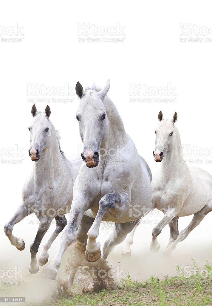 white horses in dust stock photo