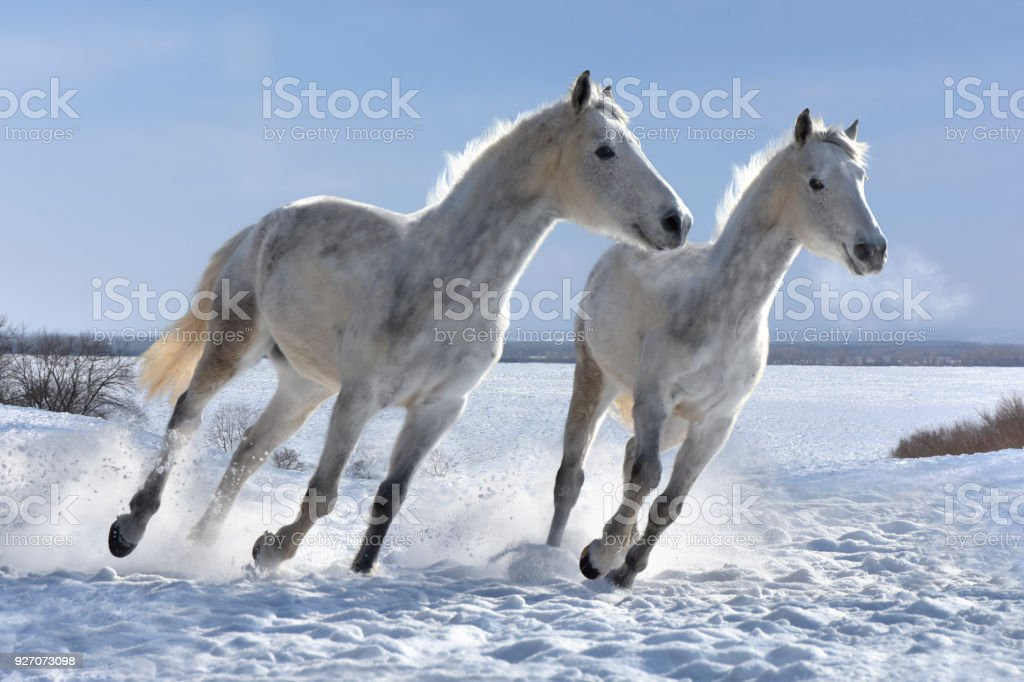 White Horses Jumping On White Snow Stock Photo Download Image Now Istock