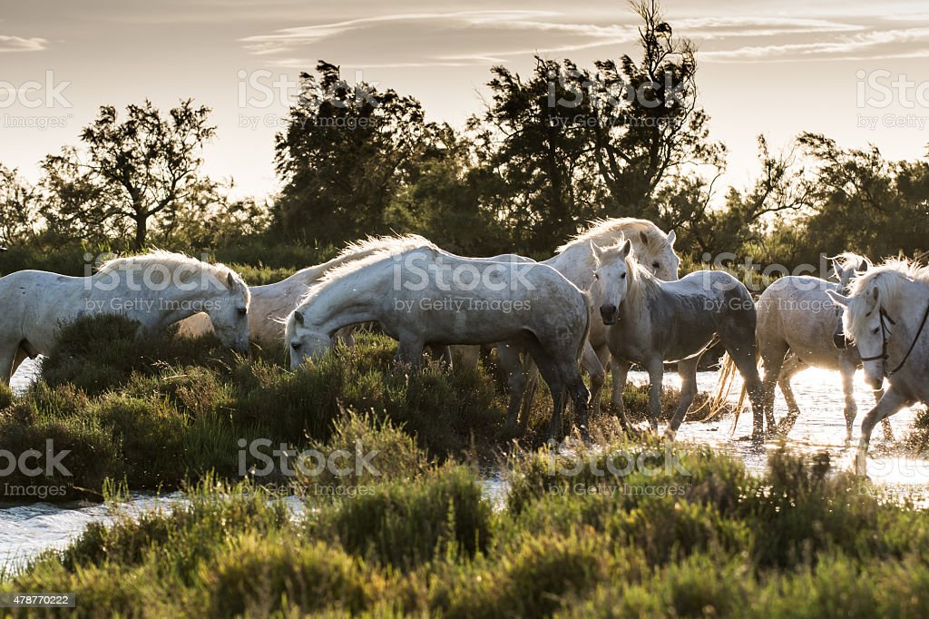 White horses of Camargue, France stock photo