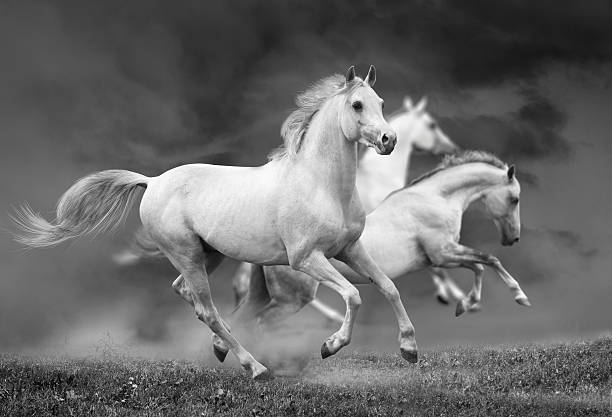 white horses white horses under stormy skies arabian horse stock pictures, royalty-free photos & images