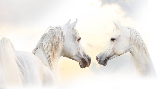 white horses arabian white horses under sunrise skies arabian horse stock pictures, royalty-free photos & images
