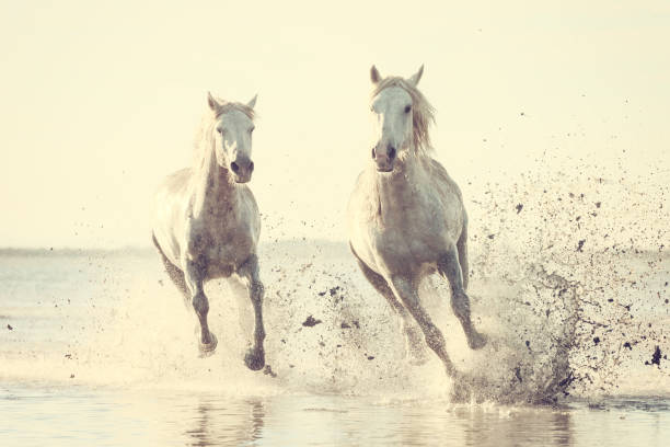 White horses run gallop in the water at sunset, Camargue, Bouches-du-rhone, France stock photo