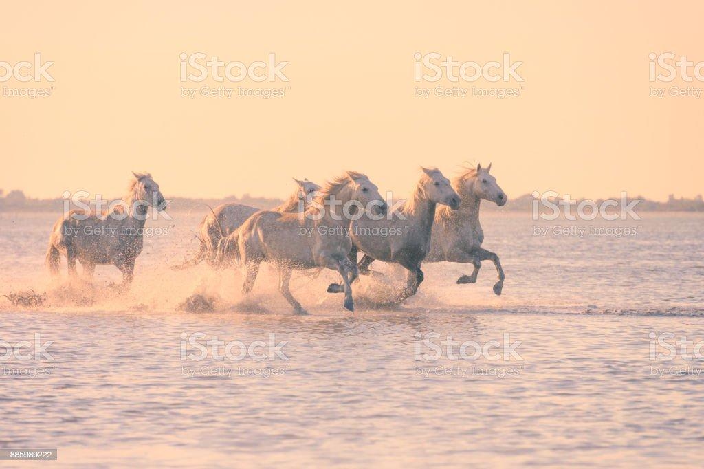 Weiße Pferde laufen Galopp im Wasser bei Sonnenuntergang, Camargue, Bouches-du-Rhône, Frankreich – Foto