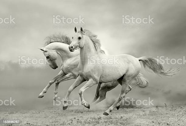 White horses run picture id153896267?b=1&k=6&m=153896267&s=612x612&h=wuod ned0idenpkvdbtu4pd8xbvcekytzehkpqfekdw=