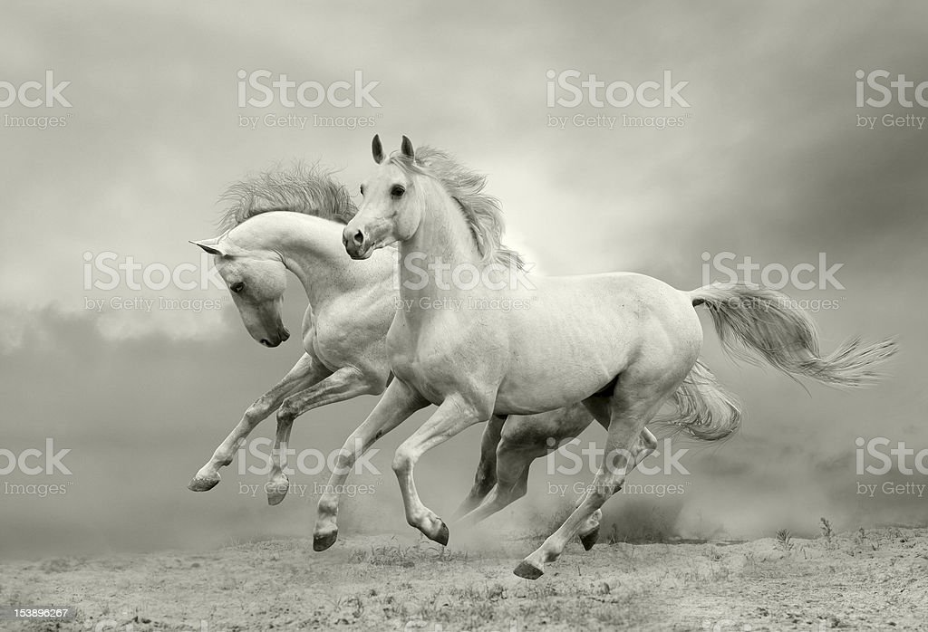 white horses run stock photo