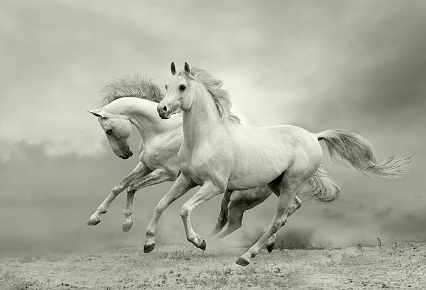 white horses run white horses run in dust arabian horse stock pictures, royalty-free photos & images