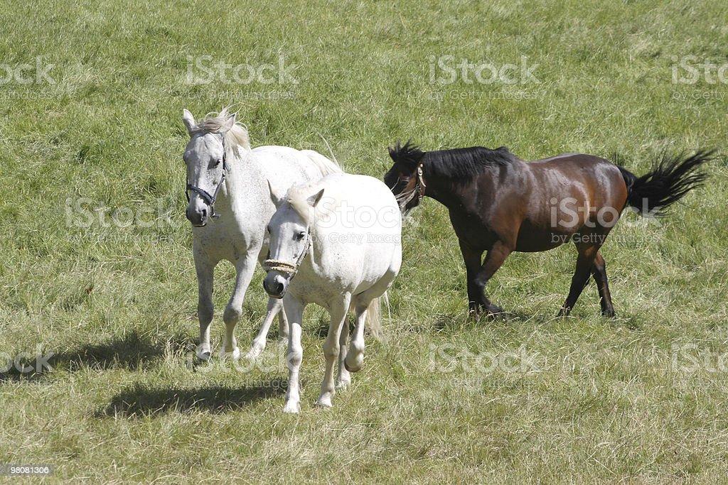 White horses running royalty-free stock photo