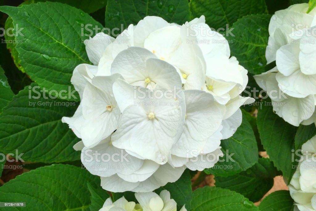 White Hortensia Flower in Springtime stock photo