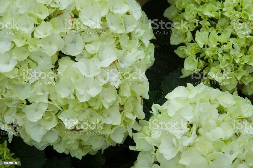 white hortensia flowers royalty-free stock photo