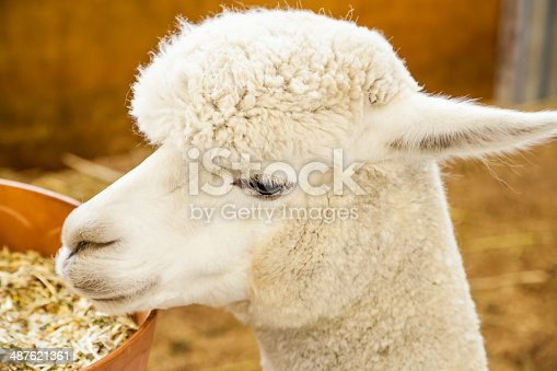 Head of a white Huacaya alpaca in the stable as it is eating grain from a plastic orange manger