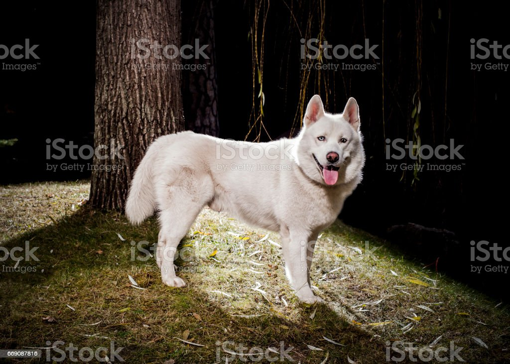 white husky on natural background stock photo