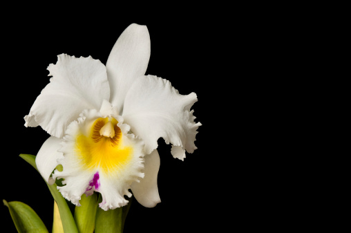 White hybrid cattleya with clipping path, isolated on black