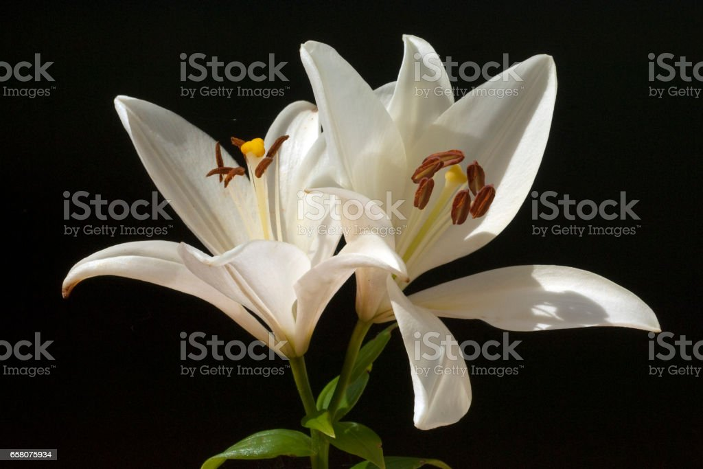 white, hybride; lily royalty-free stock photo