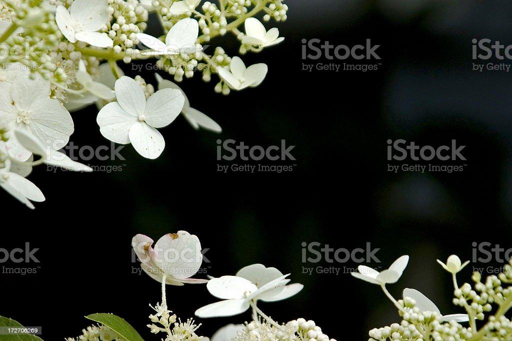 White hydrangea background royalty-free stock photo