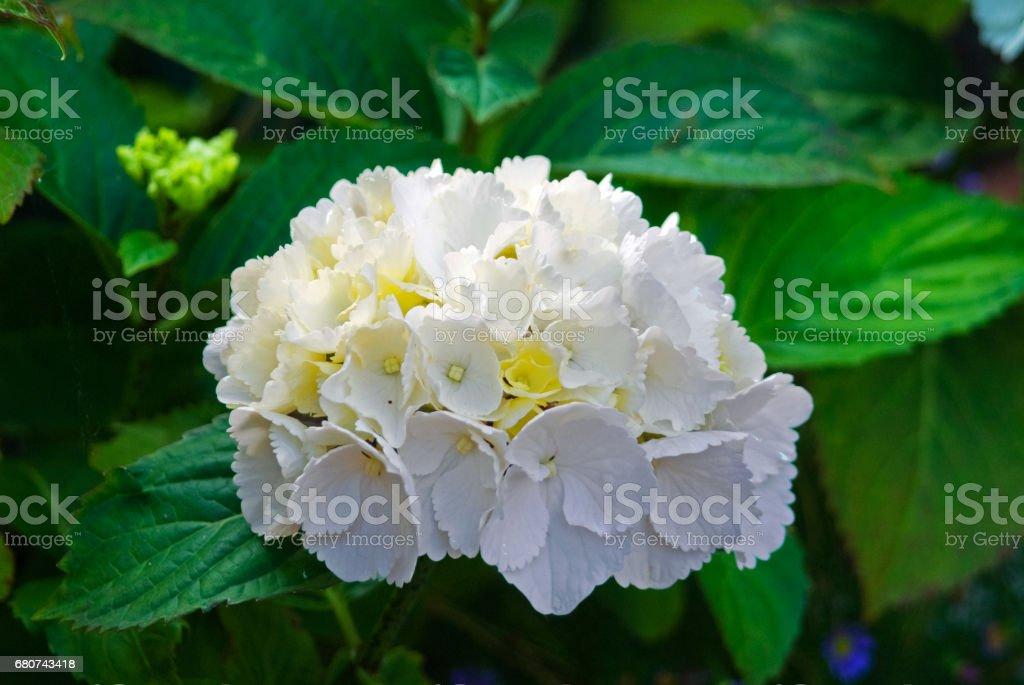White hydrangea blossom flower fresh green summer_ stock photo