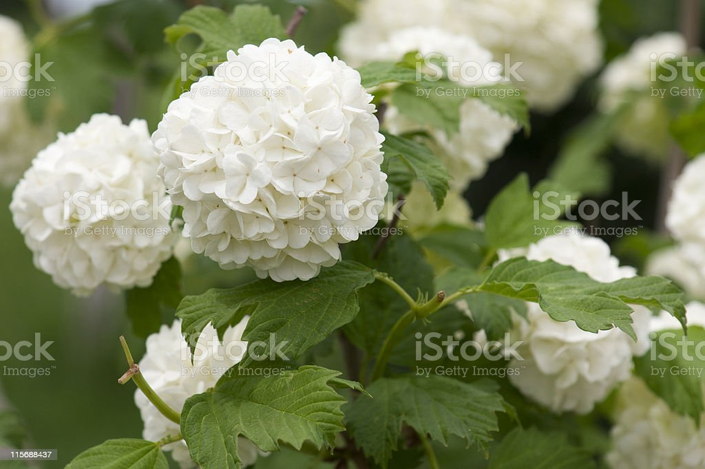 White hydrangea bush stock photo