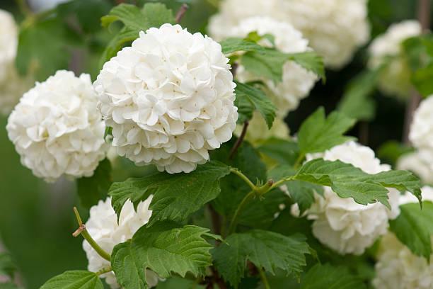 white hydrangea bush - hortensia stockfoto's en -beelden