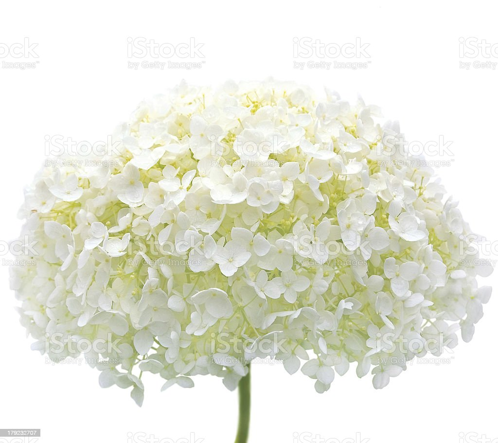 White Hydrangea Flower Isolated Macro Closeup, Mophead Annabelle H. Arborescens royalty-free stock photo