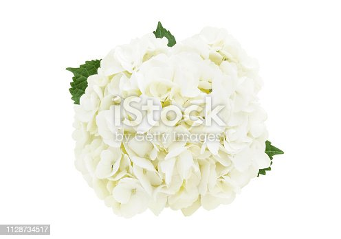 White hydrangea flower head isolated on white