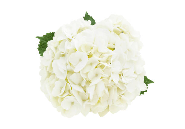 witte hortensia bloem (met pad) - hortensia stockfoto's en -beelden