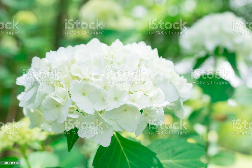 White hydrangea flower zbiór zdjęć royalty-free