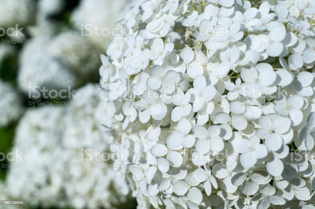 White Hydrangea Flowers Background Nature Stock Photo More