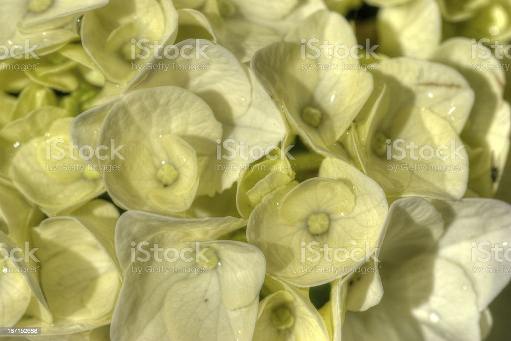White Hydrangea HDR royalty-free stock photo