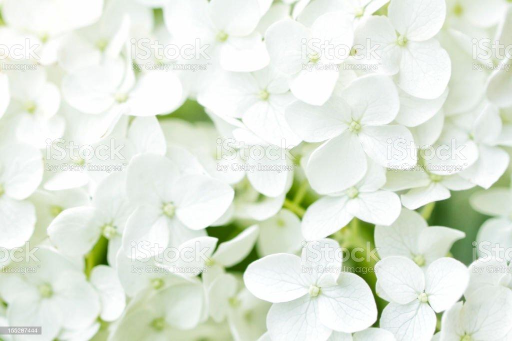 White Hydrangea royalty-free stock photo