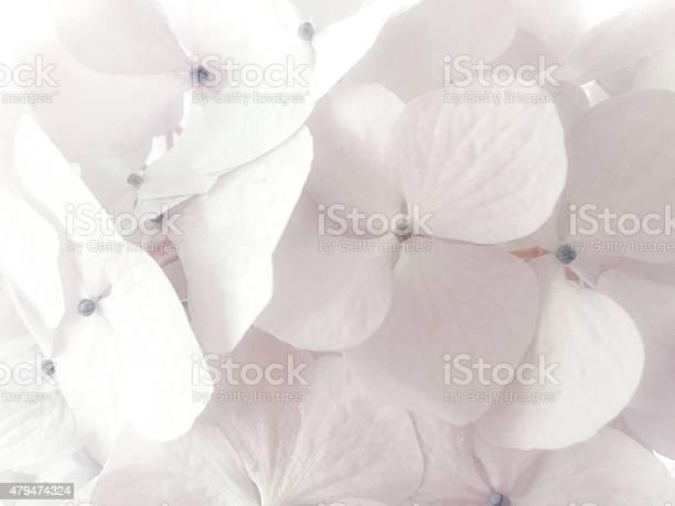 White hydrangea picture id479474324?b=1&k=6&m=479474324&s=612x612&h=zd2t7idwkifftwqf7lwbyuhyif y0wyovd3h7bwhrsg=
