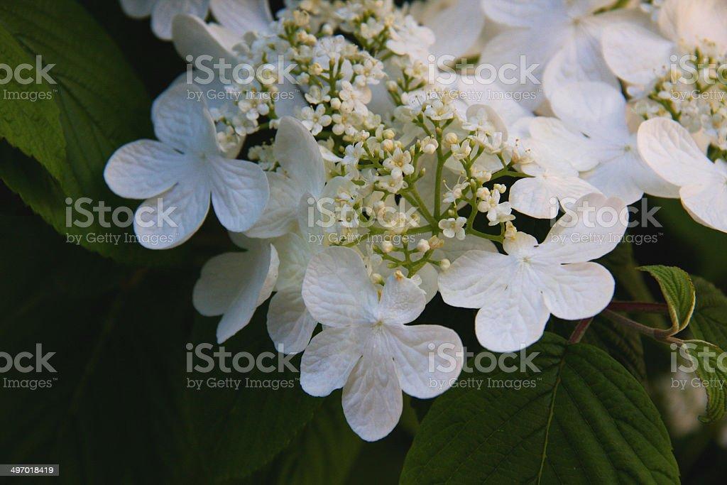 White Hydrangea stock photo