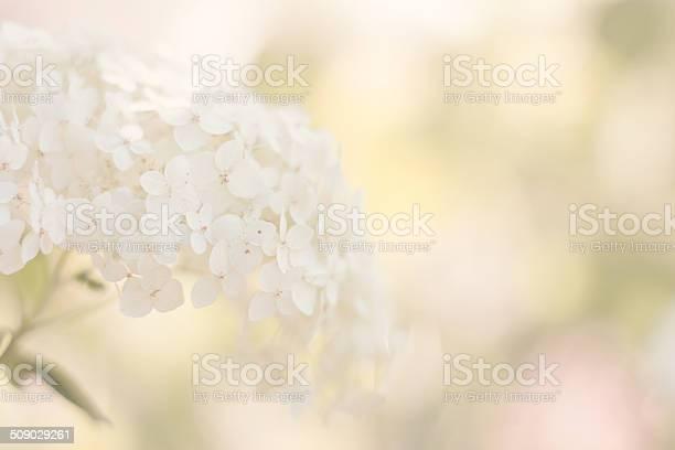 White hydrangea picture id509029261?b=1&k=6&m=509029261&s=612x612&h= 4od3ho9aovrzmon5t3quboodogcdrnhzmz5xthi2i0=