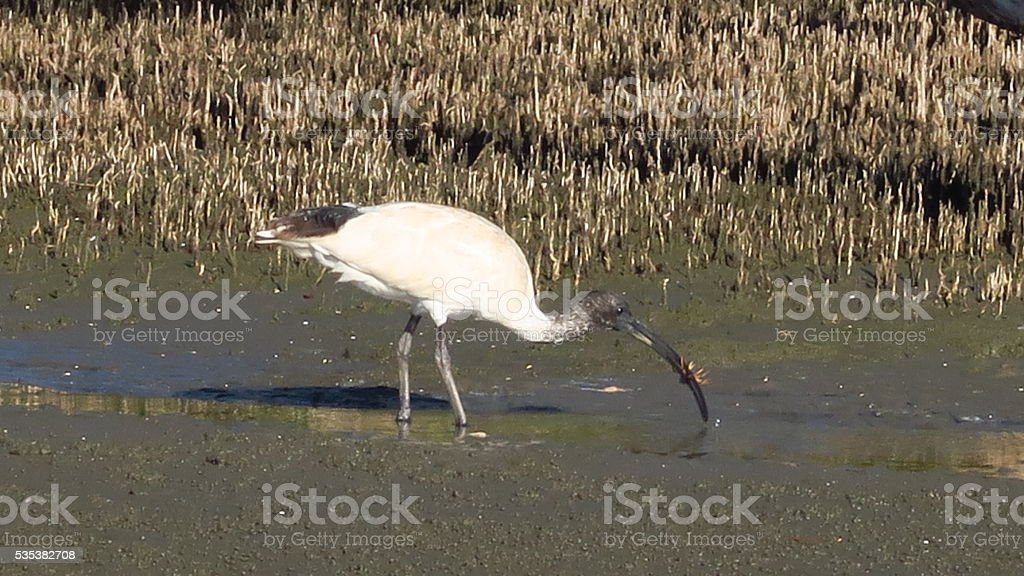 White Ibis eating crab stock photo