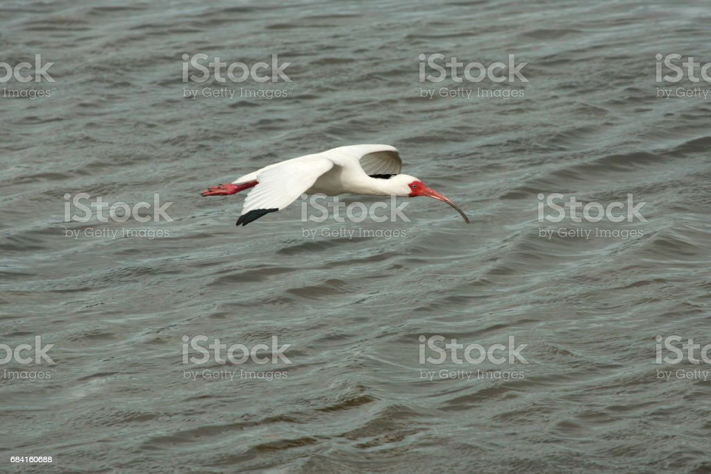 White ibis flying low over shallow water in Florida. royalty-free stock photo