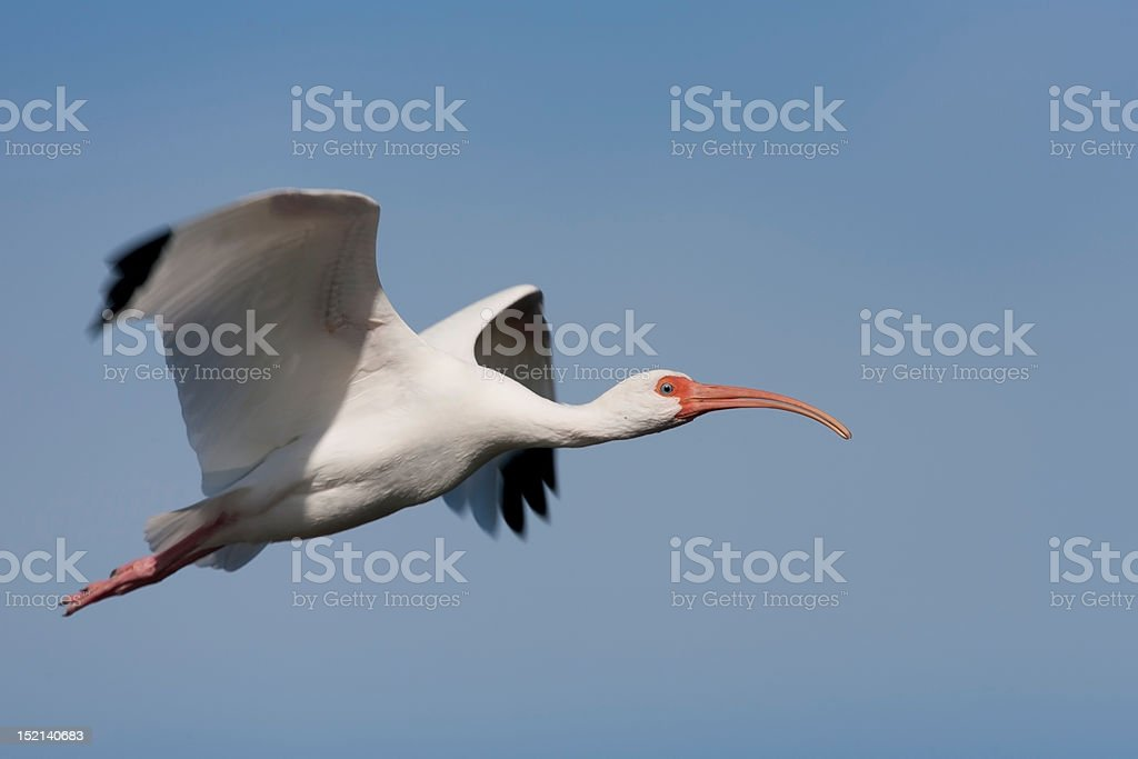 White Ibis in flight royalty-free stock photo
