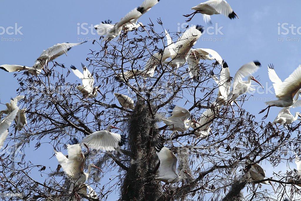 White Ibis in Flight stock photo