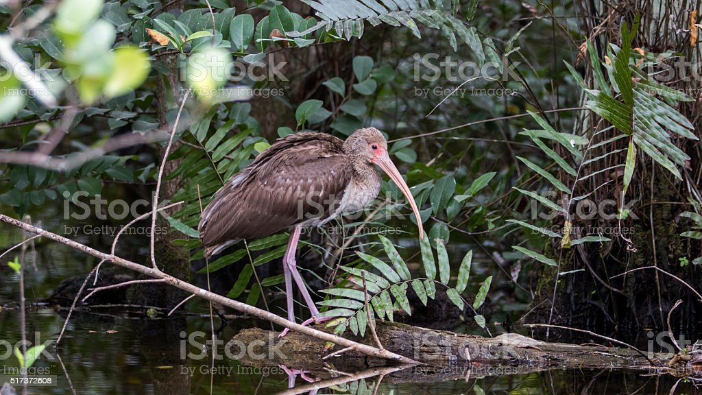 White Ibis, Juvenile, Reflecting in a Pond, Big Cypress National stock photo