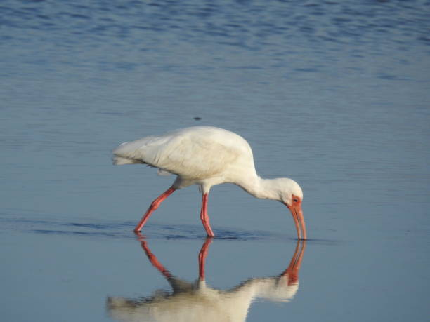 White ibis looking for food stock photo