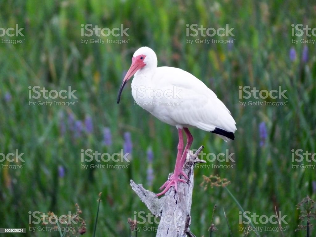White Ibis  (Eudocimus albus) - Royalty-free Animal Wildlife Stock Photo