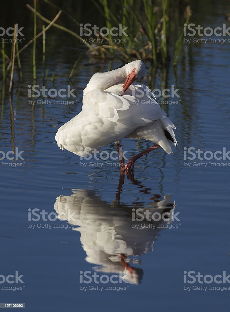 White ibis preens in its own reflection royalty-free stock photo
