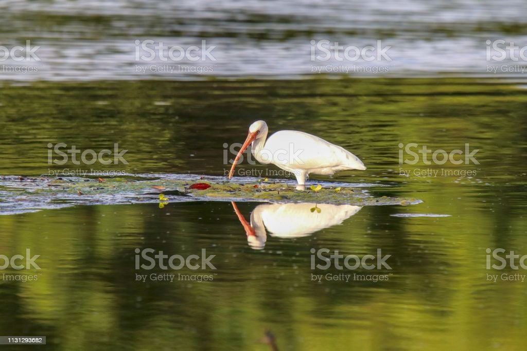 White Ibis sees its reflection while wading in a lake searching for fish stock photo